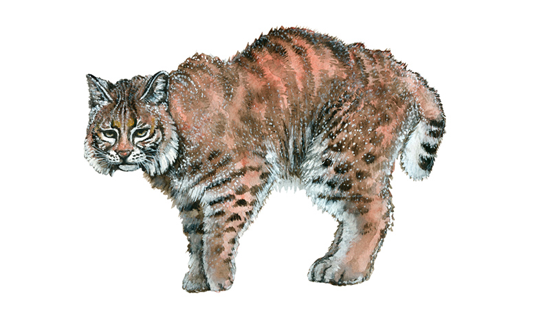 Bobcats for Dungeons & Dragons Fifth Edition